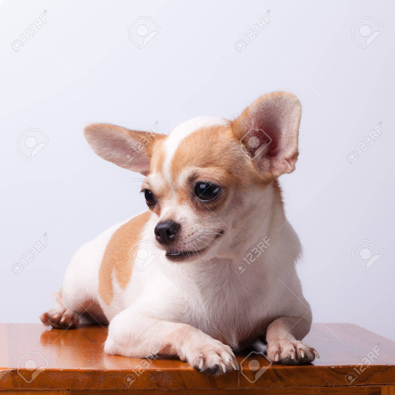 Small pure breed Chihuahua dogs white and fawn color