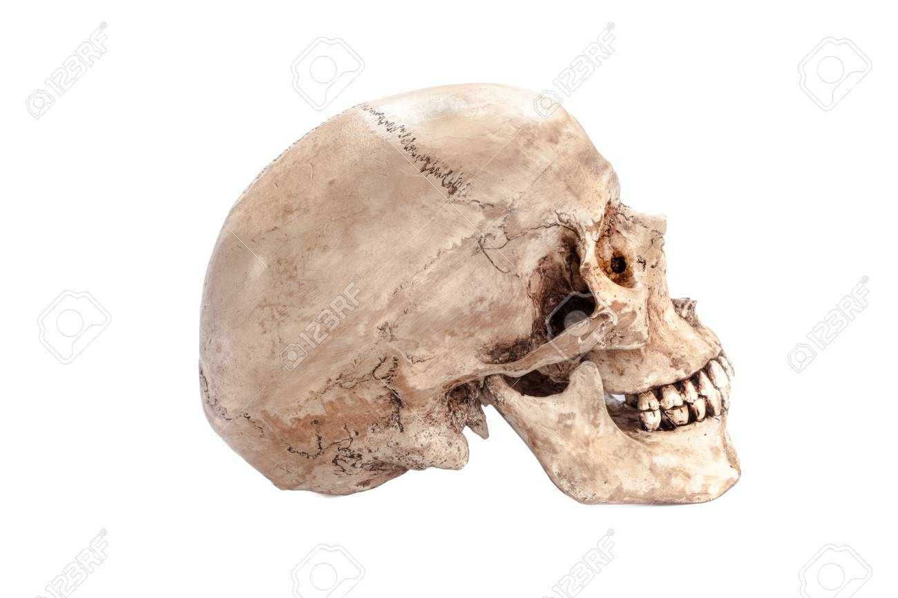Skull Model On Isolated White Background Stock Photo, Picture And ...