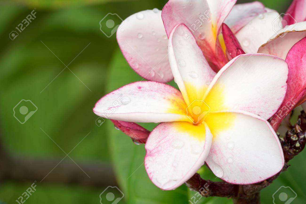 Plumeria flower pink and white frangipani tropical flower plumeria plumeria flower pink and white frangipani tropical flower plumeria flower blooming on tree spa mightylinksfo