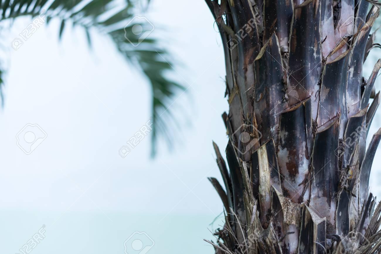 Fiji fan palm tree - 95475133