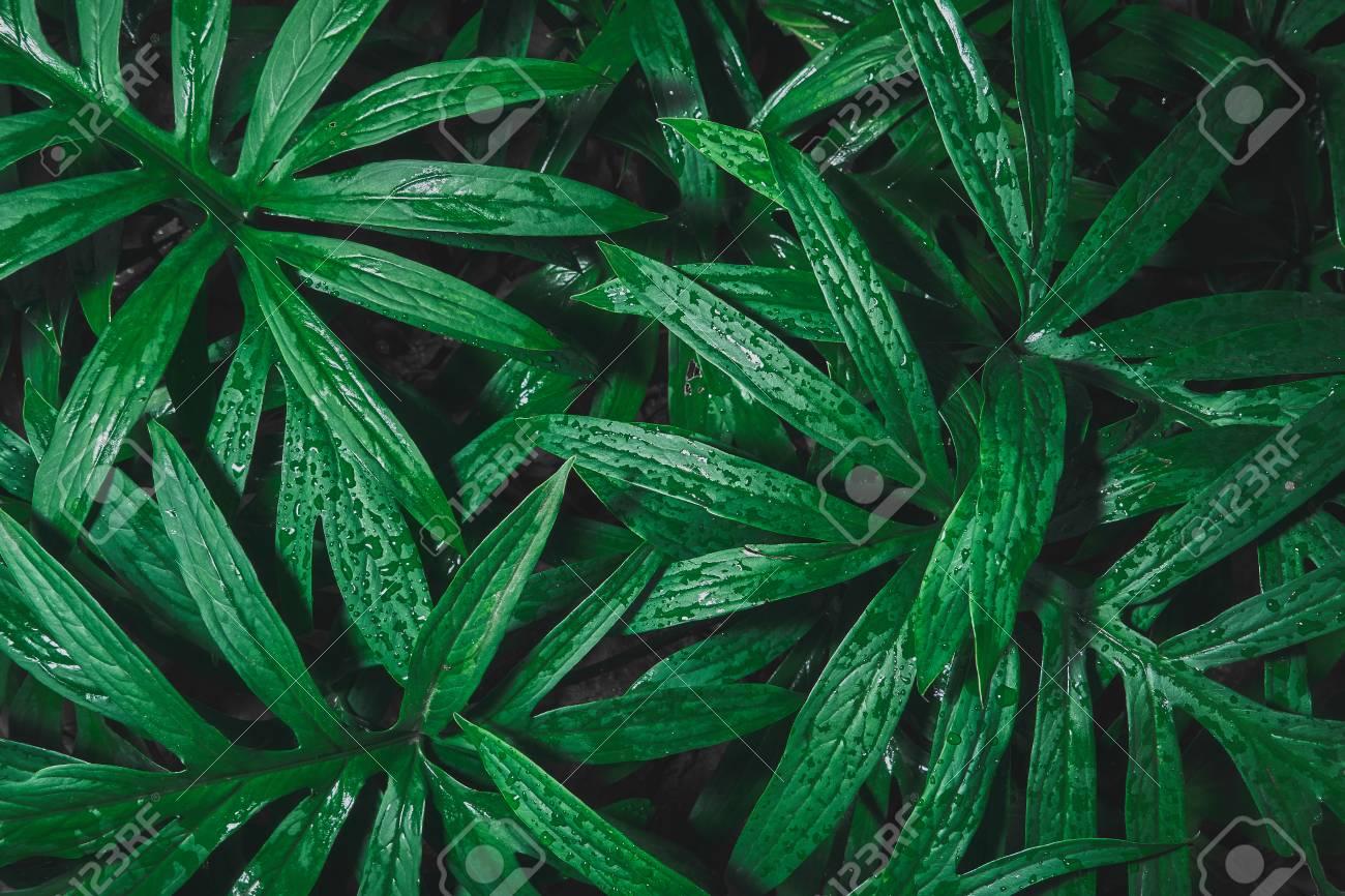 rain drop on tropical green leaf textures,dark tone nature background - 95475527