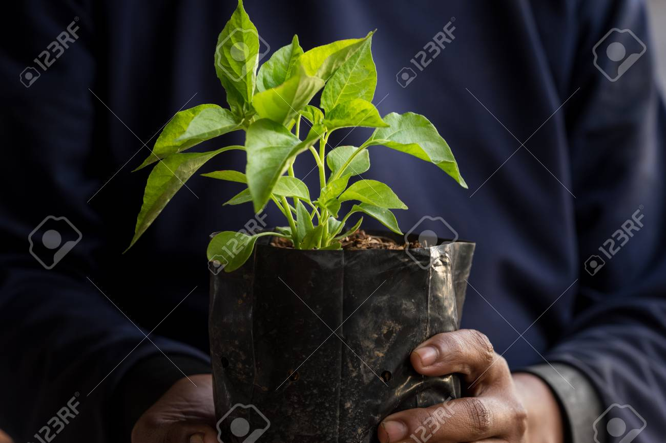 Seedlings are growing in the nursery bag. As the hands of the old man. - 95475542