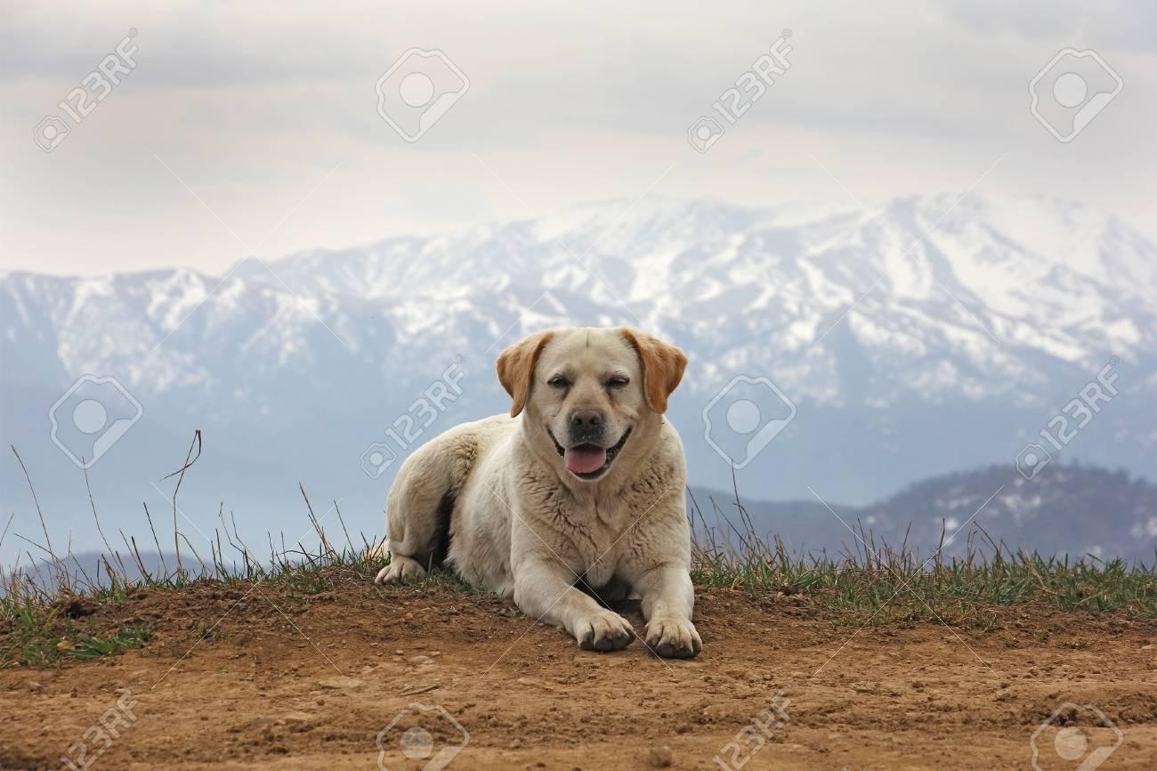 https://previews.123rf.com/images/worklater/worklater1706/worklater170600028/81487879-un-chien-amusant-x28-labrador-x29-dans-le-fond-des-montagnes-vue-de-face-arm%C3%A9nie.jpg