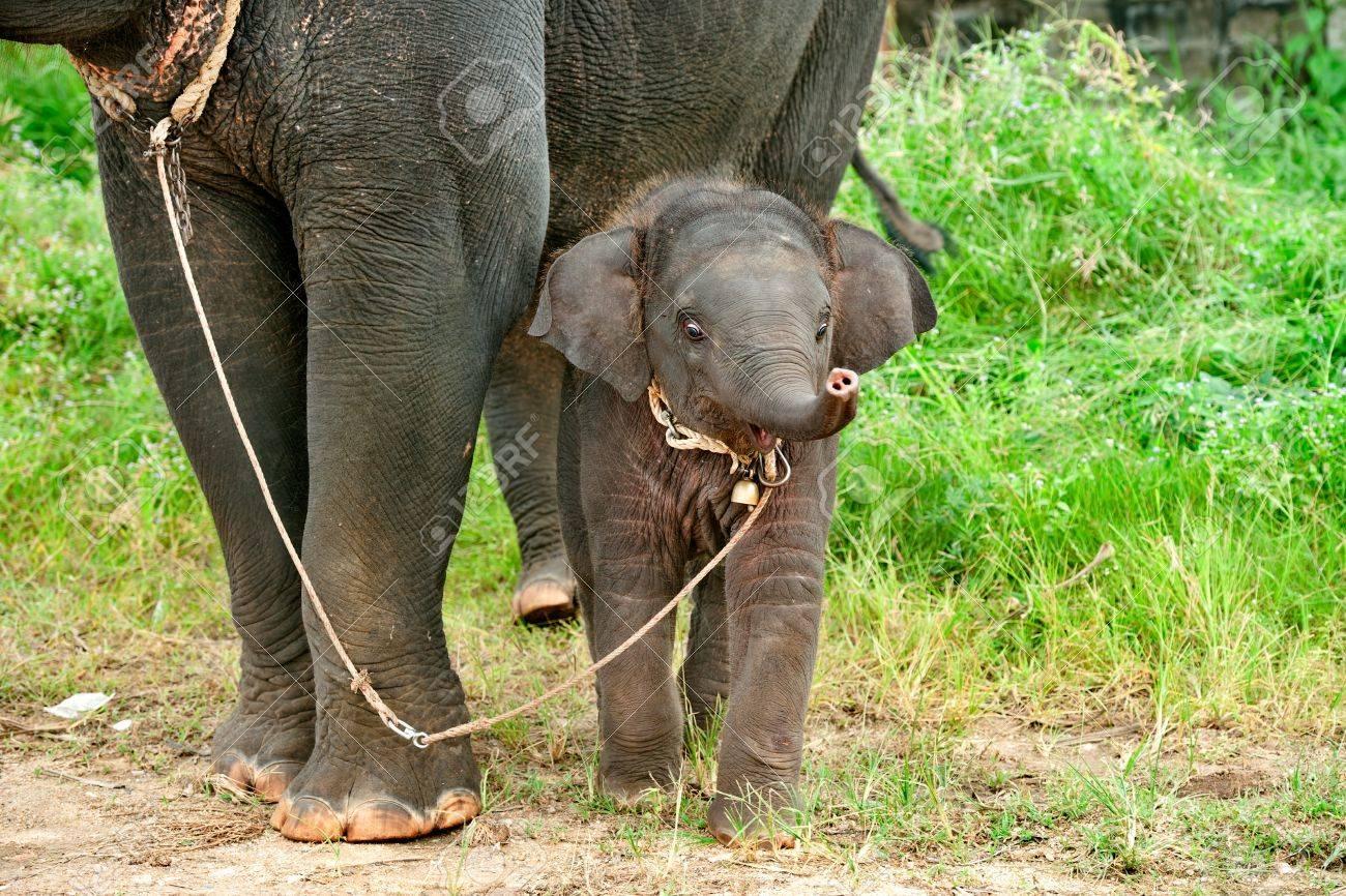 Elephantidae  Wikipedia