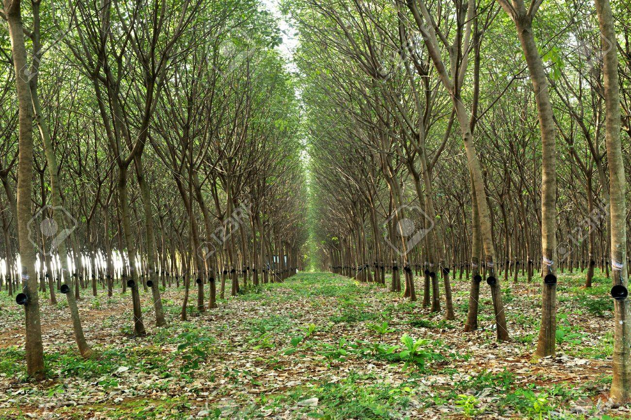 Para rubber tree garden  in Thailand Stock Photo - 13174155