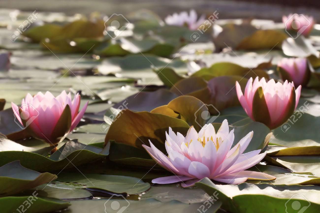 Lotus Flower Plants In Thailand Indian Lotus Sacred Lotus Stock