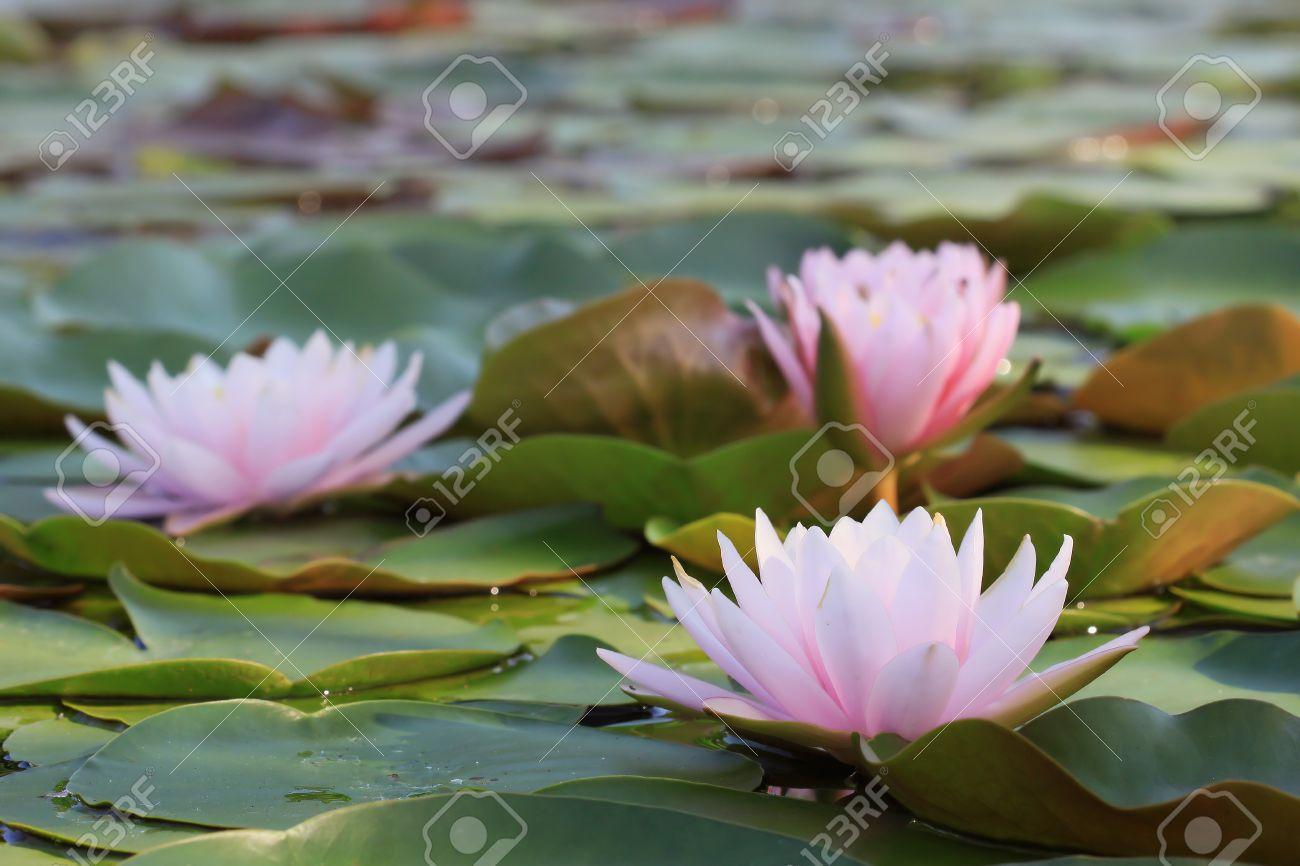 lotus flower plants in thailand indian lotus, sacred lotus, Beautiful flower