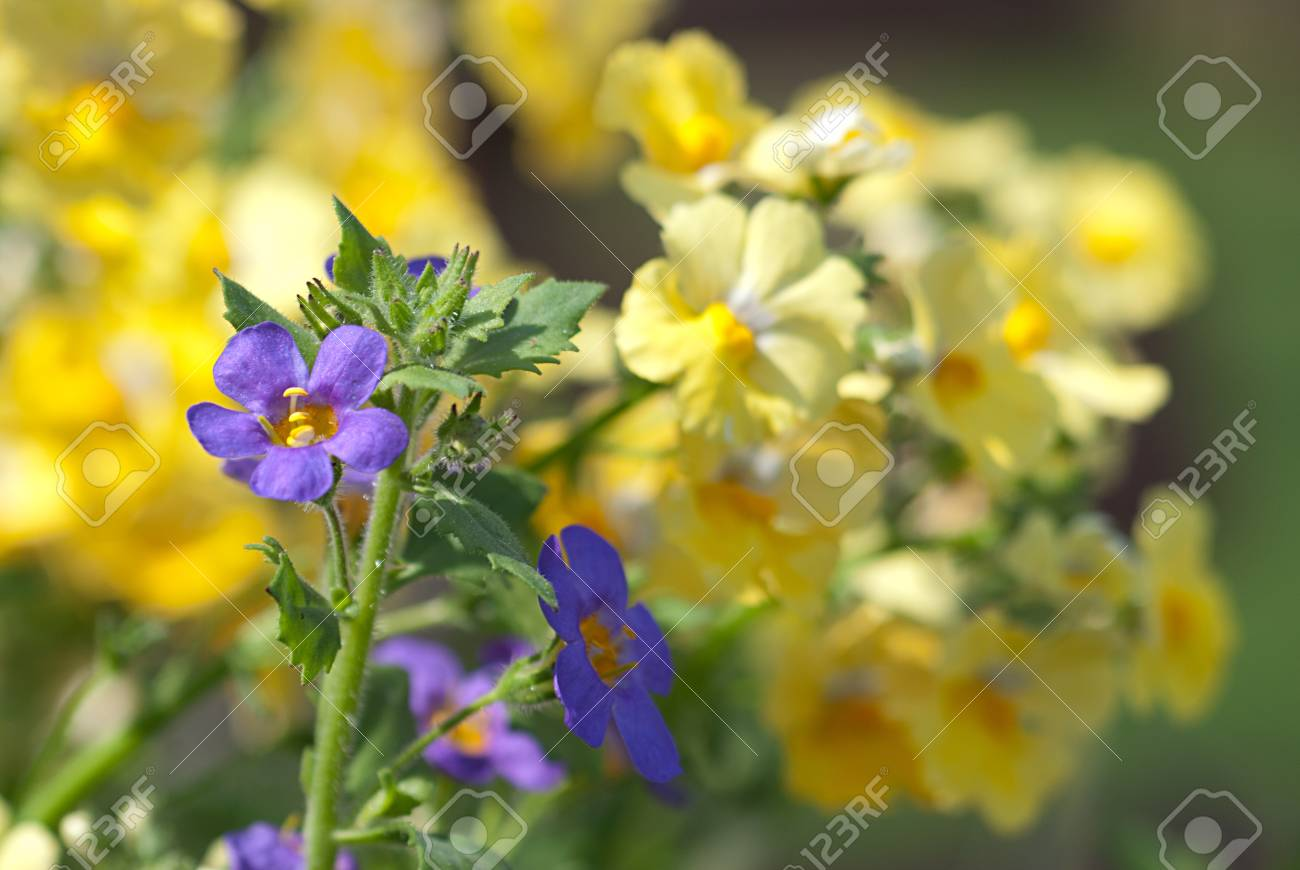 Garden Fresh Blue And Yellow Flowers In Early Spring Stock Photo