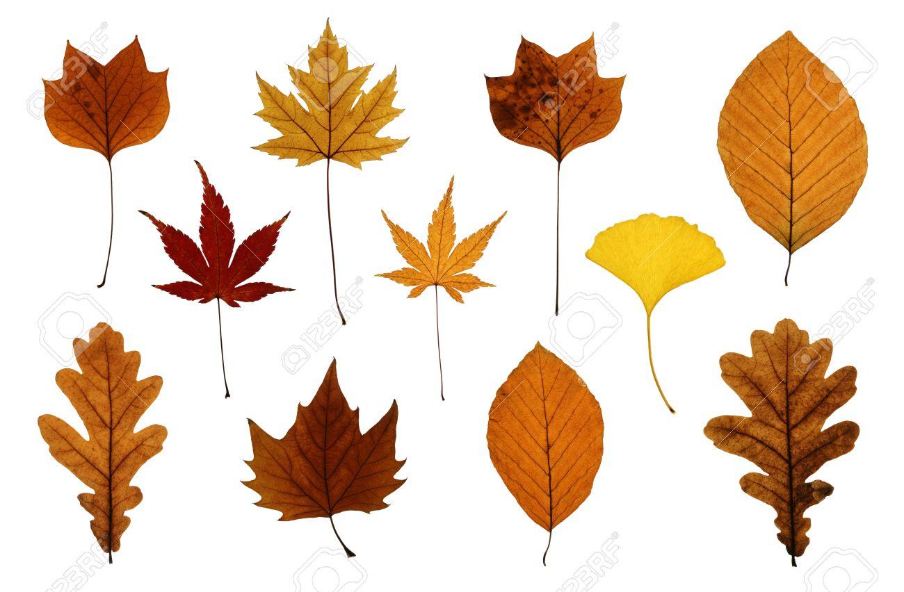 秋の葉の分離白: カシ、イチョウ...