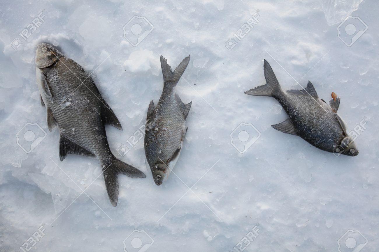 Freshwater fish bream - Fish Catch Of Freshwater Bream Abramis Brama On Ice During Ice Fishing In Yekaterinburg