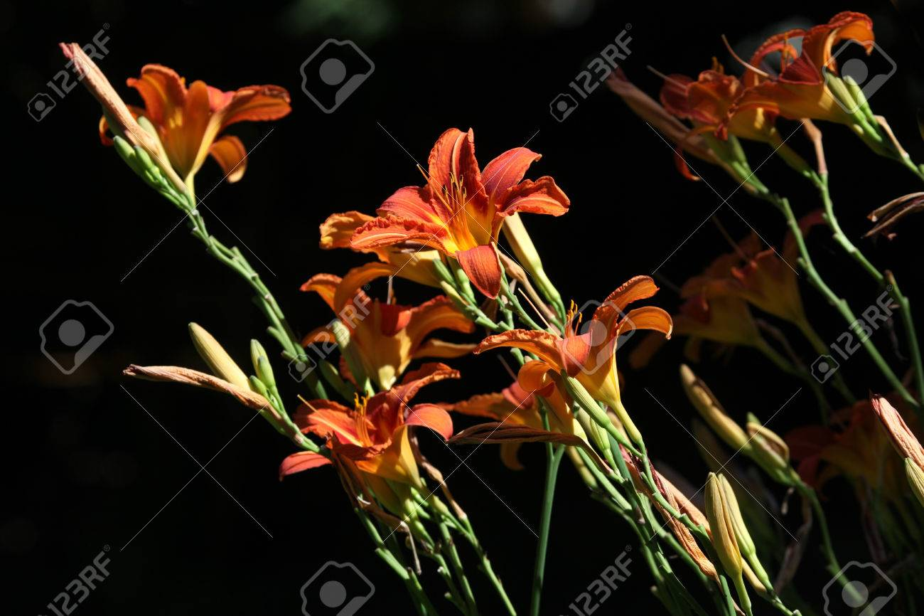 Orange Lily Lilium Bulbiferum Flowers Stock Photo Picture And