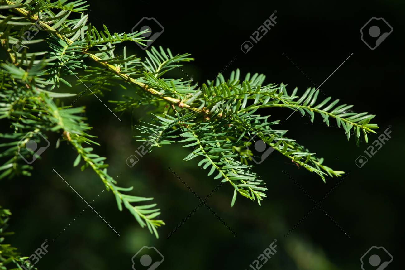 Japanese Yew Taxus Cuspidate Also Known As The Spreading Yew