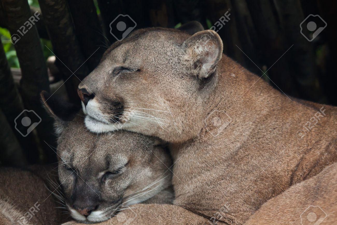 chilean cougar puma concolor puma also known as the chilean