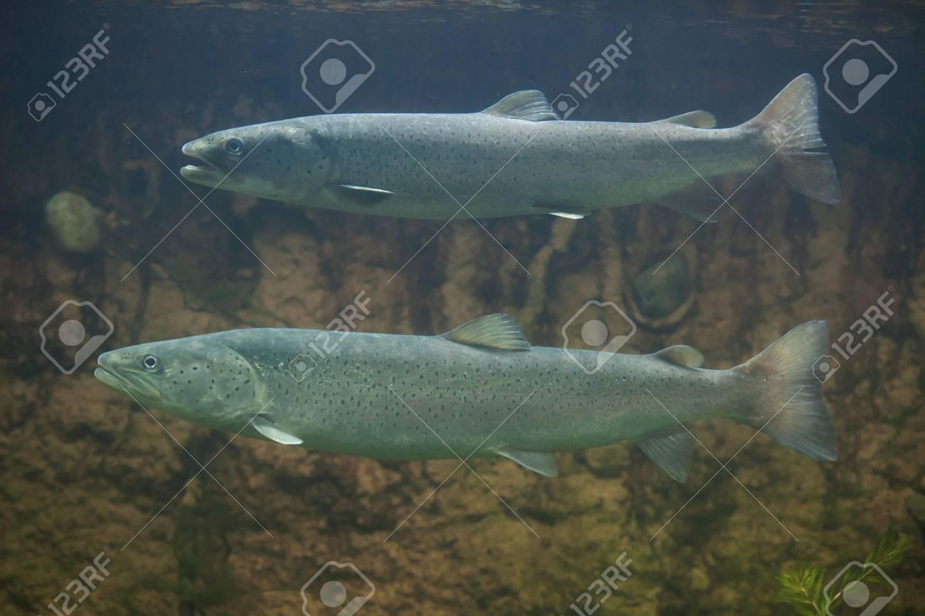 Huchen (Hucho hucho), also known as the Danube salmon. Wildlife animal. - 63658932