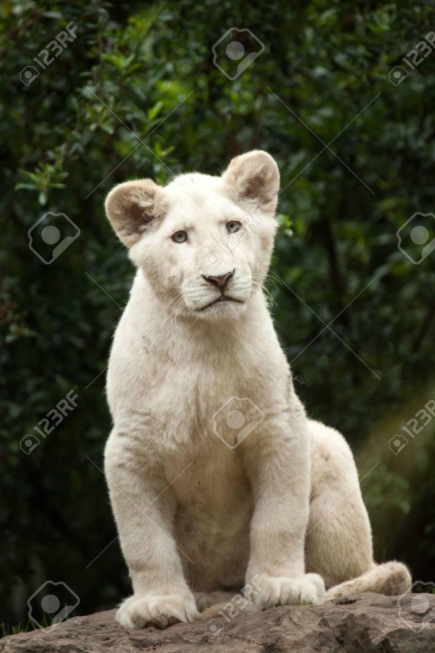 Lionceau Blanc Le Lion Blanc Est Une Mutation De Couleur Du Lion Du Transvaal Panthera Leo Krugeri Egalement Connu Sous Le Nom De Lion D Afrique