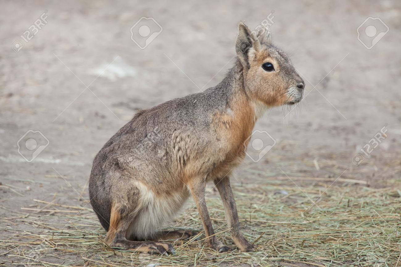 Patagonian mara (Dolichotis patagonum), also known as the Patagonian cavy. Stock Photo - 84876142