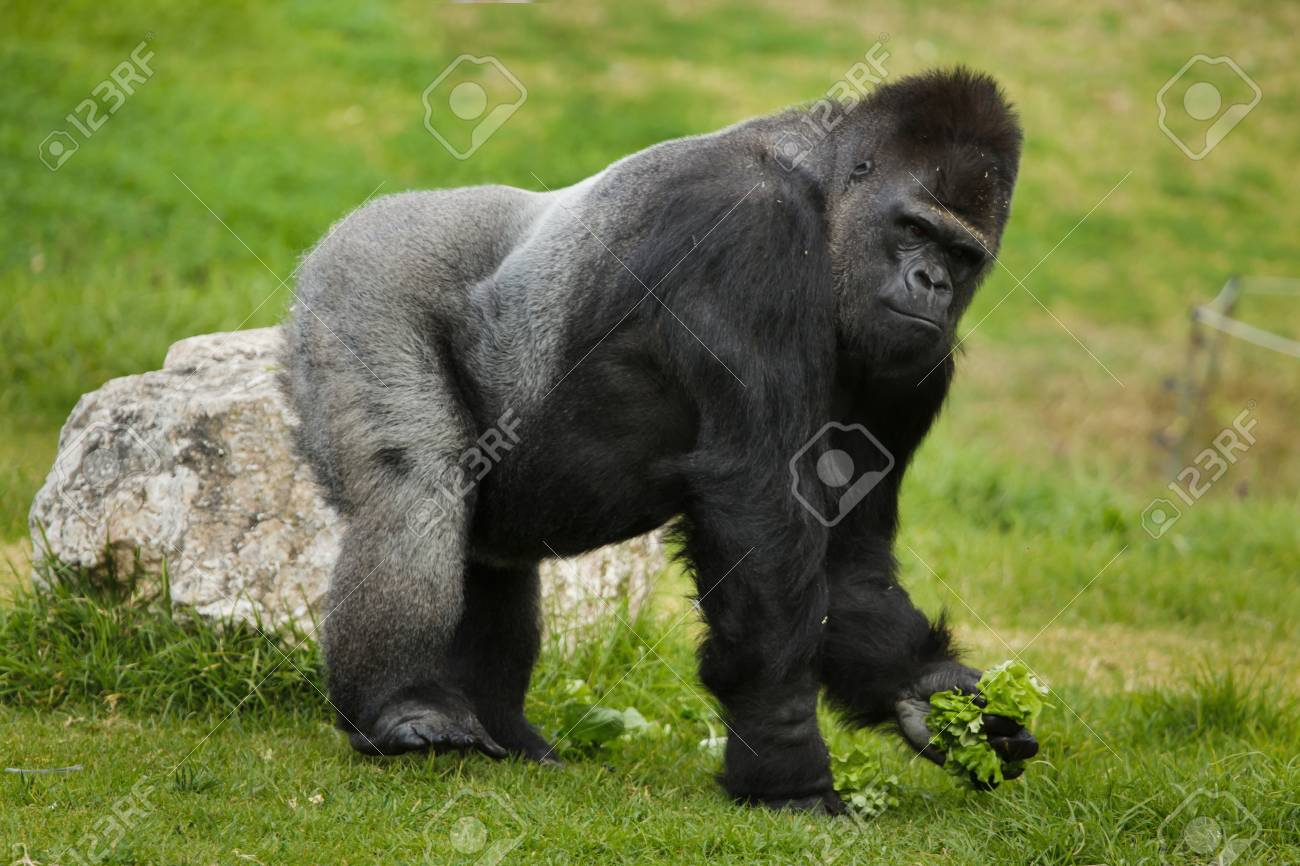 Western lowland gorilla (Gorilla gorilla gorilla). Wild life animal. - 119524143
