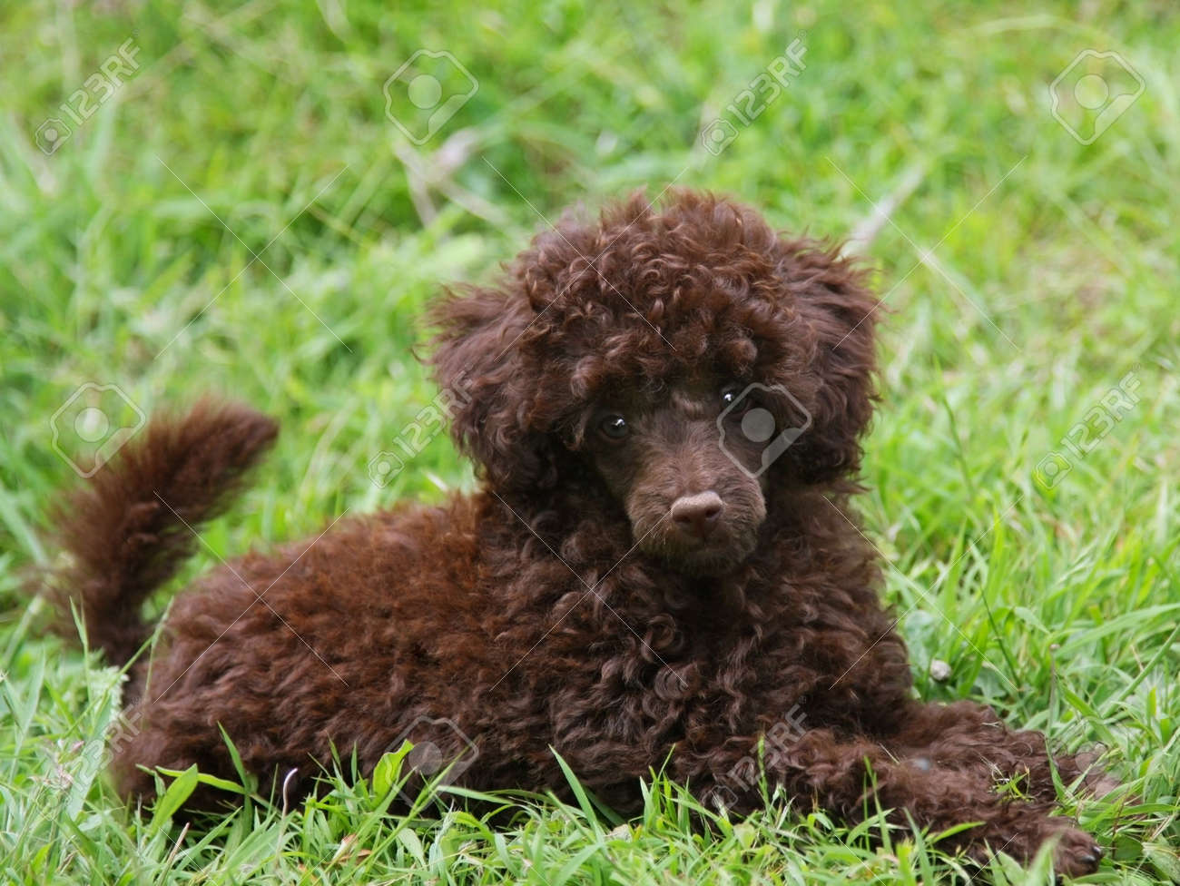 Cute Chocolate Brown Poodle Puppy Lying On Green Grass Stock Photo