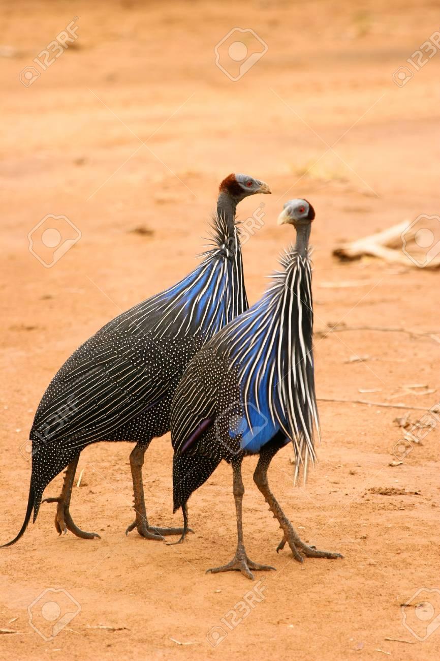 Vulturine Guineafowl, Samburu, Kenya Stock Photo - 12813970