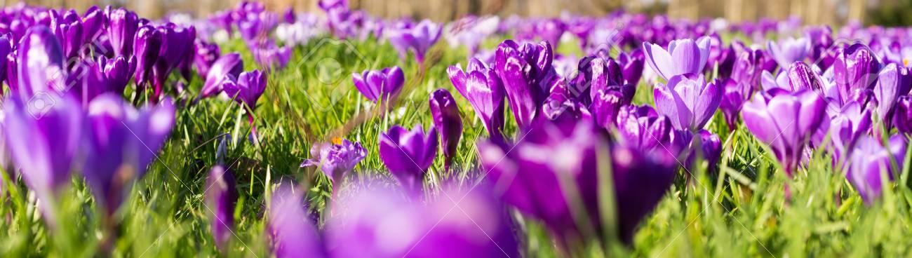 Purple crocus spring russian flowers blooming on spring meadow stock purple crocus spring russian flowers blooming on spring meadow stock photo 77127678 mightylinksfo