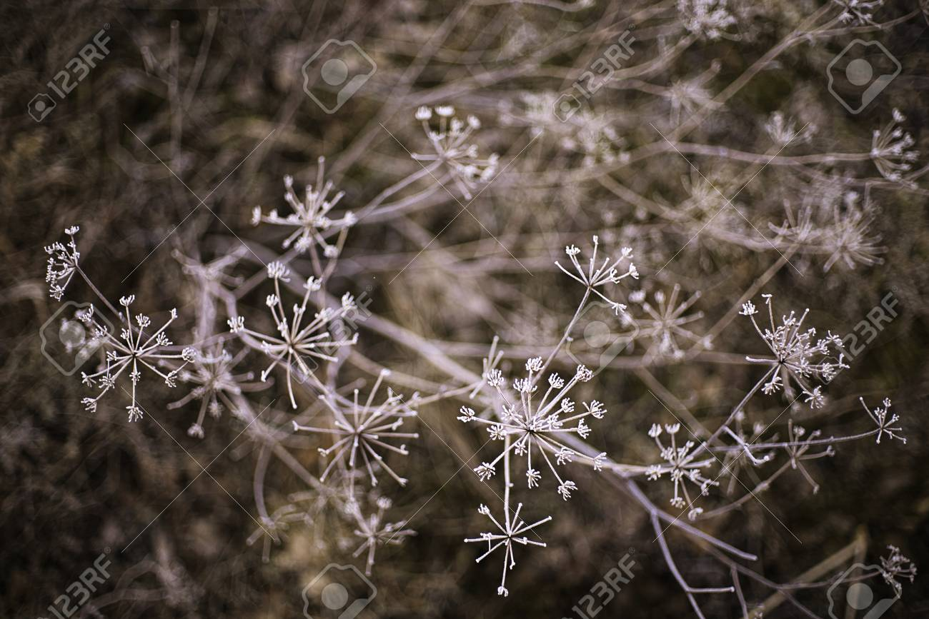White Frosted Dried Flowers Stock Photo Picture And Royalty Free