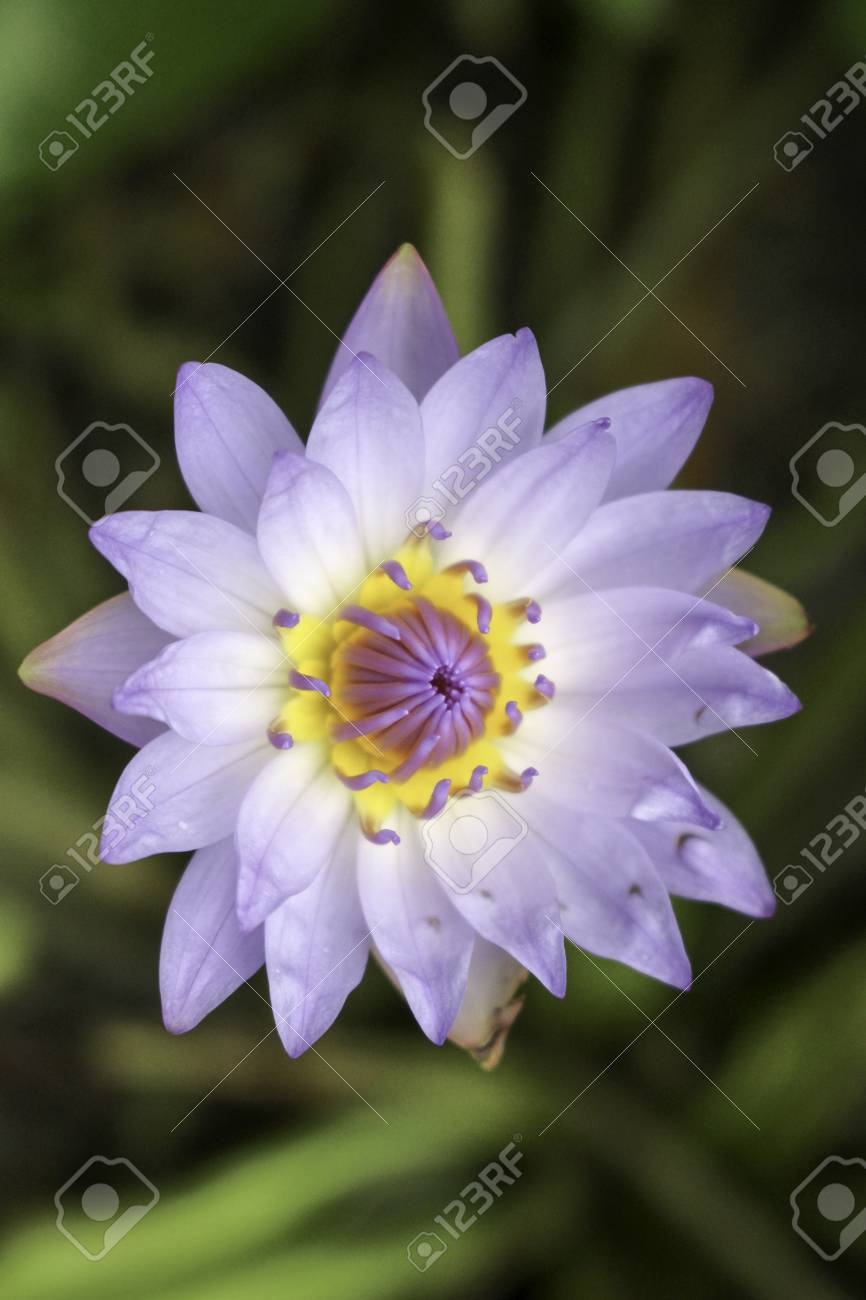 Lotus plants of herbaceous plants the trunk and head in the stock lotus plants of herbaceous plants the trunk and head in the ground underwater growth mightylinksfo