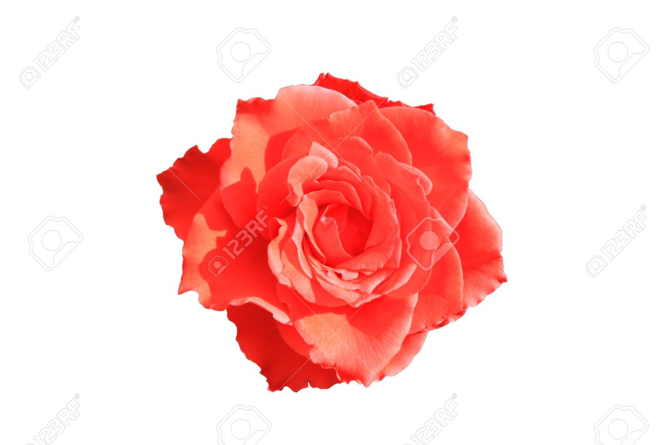 Rose is a beautiful flower filled with love royalty free stok rose is a beautiful flower filled with love stok fotoraf 16030716 izmirmasajfo