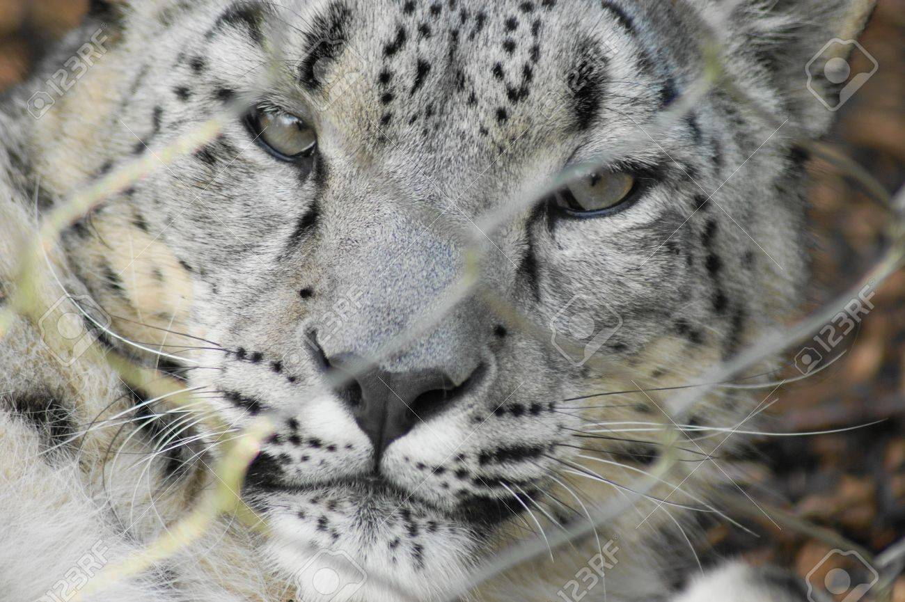 Snow Leopard Stock Photo - 10465900