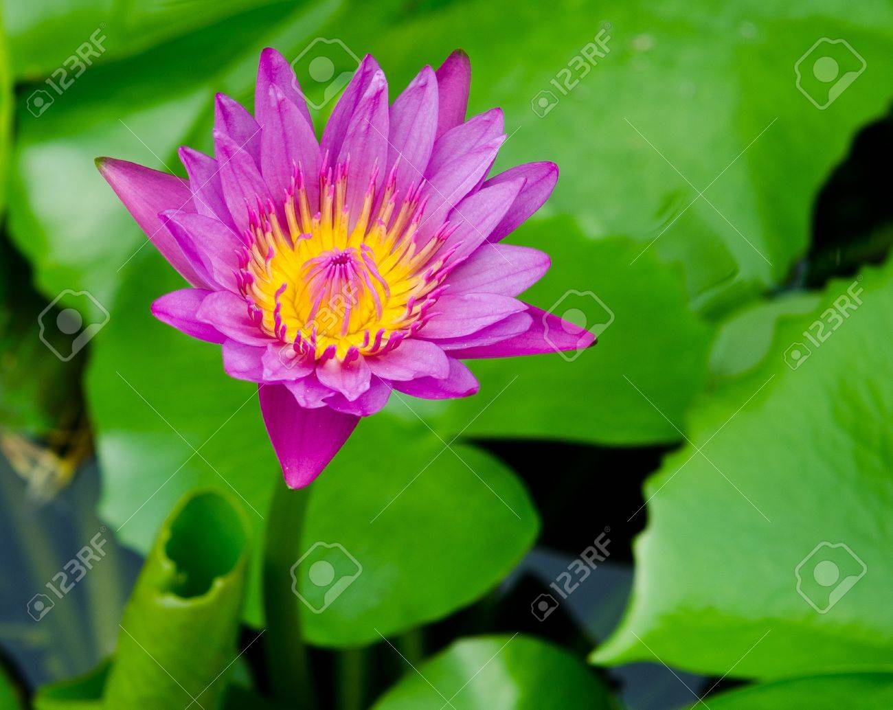 Lotus Blossom Or Water Lily Flower Blooming On Pond Stock Photo