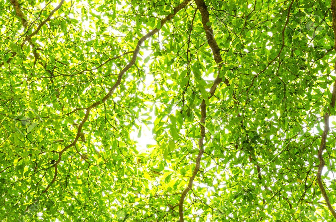 Green leave on tree in white background Stock Photo - 15222777