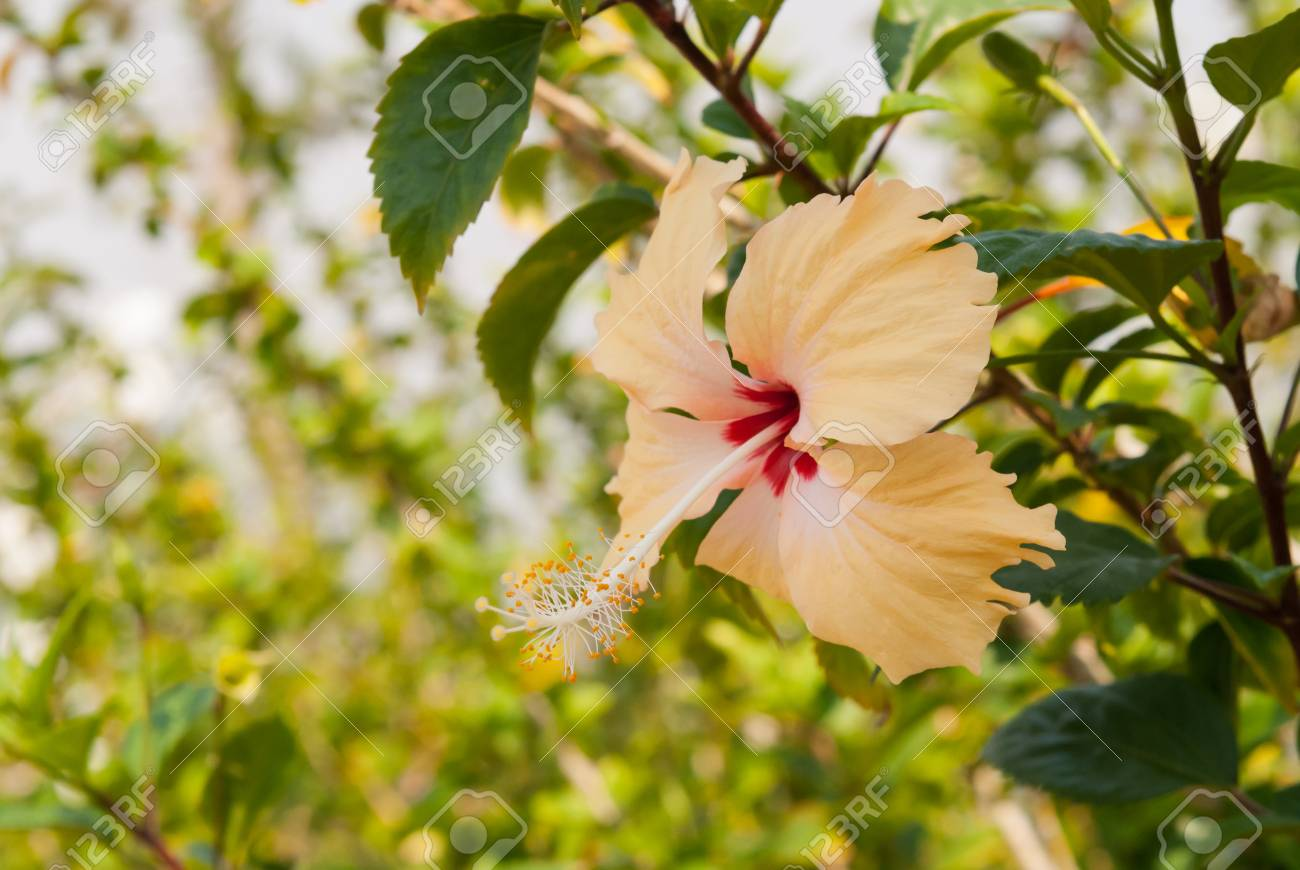 Close Up Yellow Hibiscus Flower On Tree Stock Photo Picture And