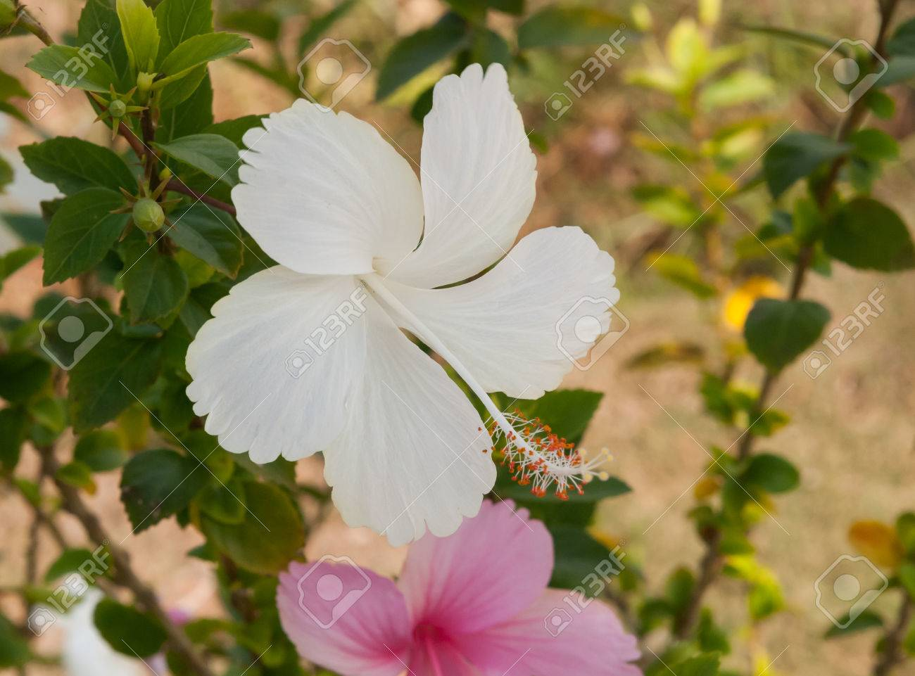 Close Up White Hibiscus Blossom Flower On Tree In Natural