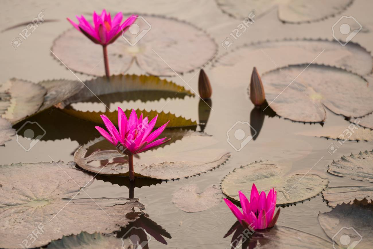 Close Up Pink Color Fresh Lotus Blossom Or Water Lily Flower Stock