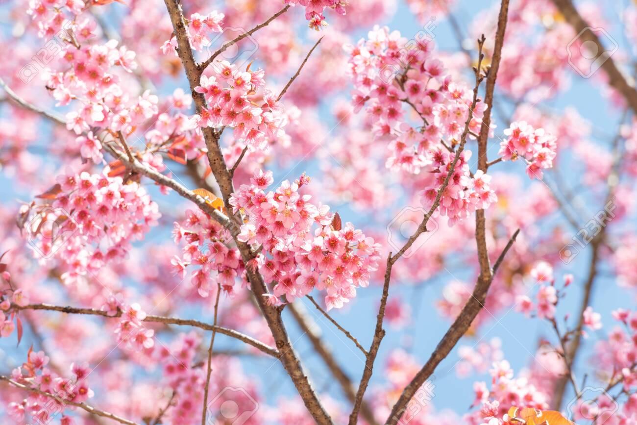 Thai Sakura flower background in winter season on tree, prunus cerasoides at Chaing mai Province, Thailand. - 153672584