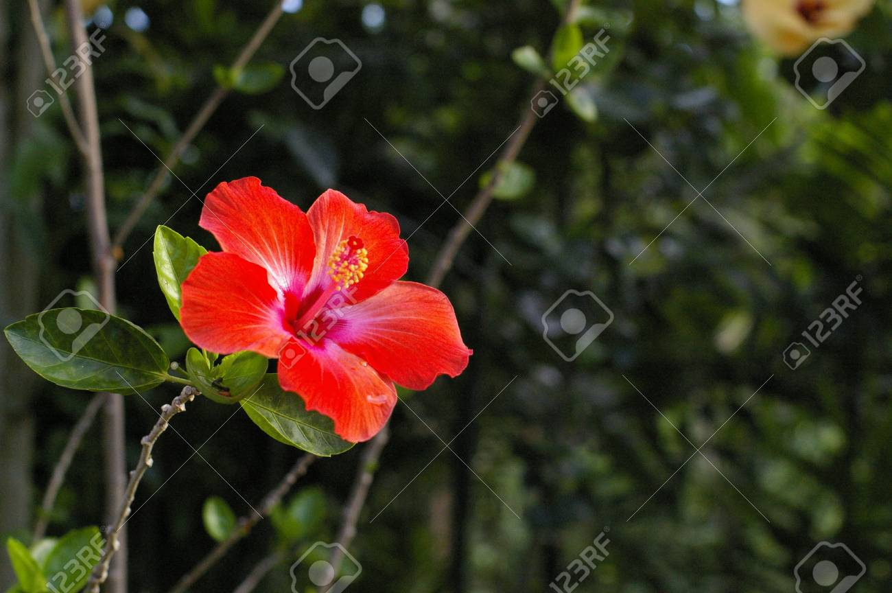 Rose of china hibiscus rosa sinensis l chinese hibiscus flower rose of china hibiscus rosa sinensis l chinese hibiscus flower stock izmirmasajfo