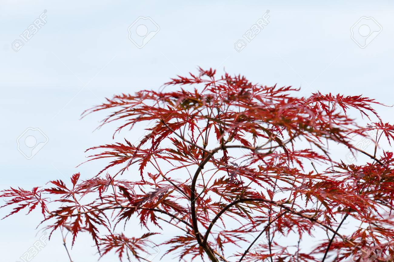 Wine Red Leaves Of The Japanese Maple Tree Acer Palmatum Dissectum