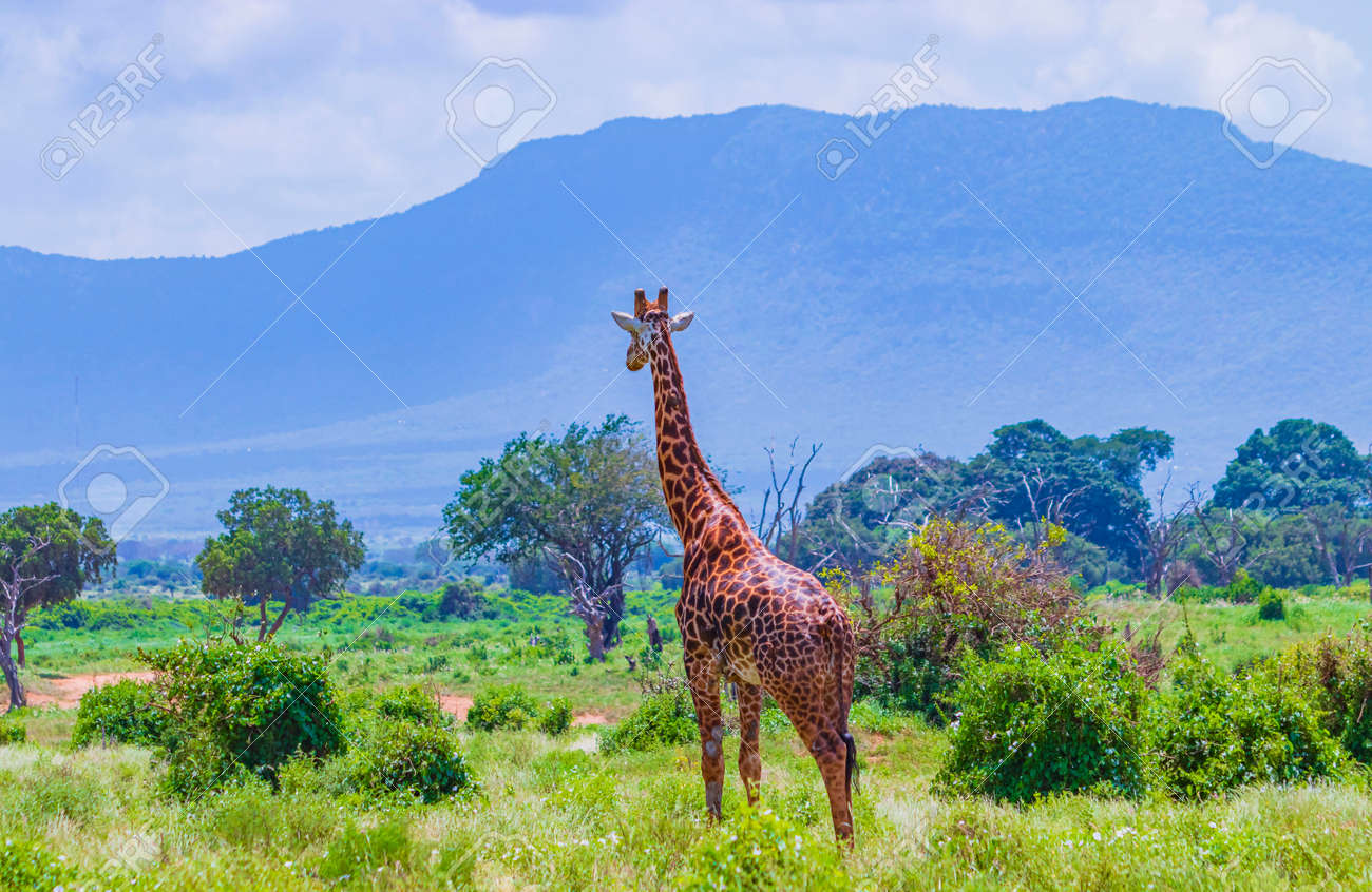Giraffe standing in tall grass in Tsavo East National Park, Kenya.Kilimanjaro is in the background. It is a wild life photo. - 167110069