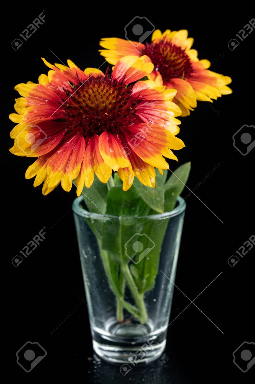 Gaillardia Pulchella On A Dark Table In A Glass Vase Beautiful Stock Photo Picture And Royalty Free Image Image 127499337