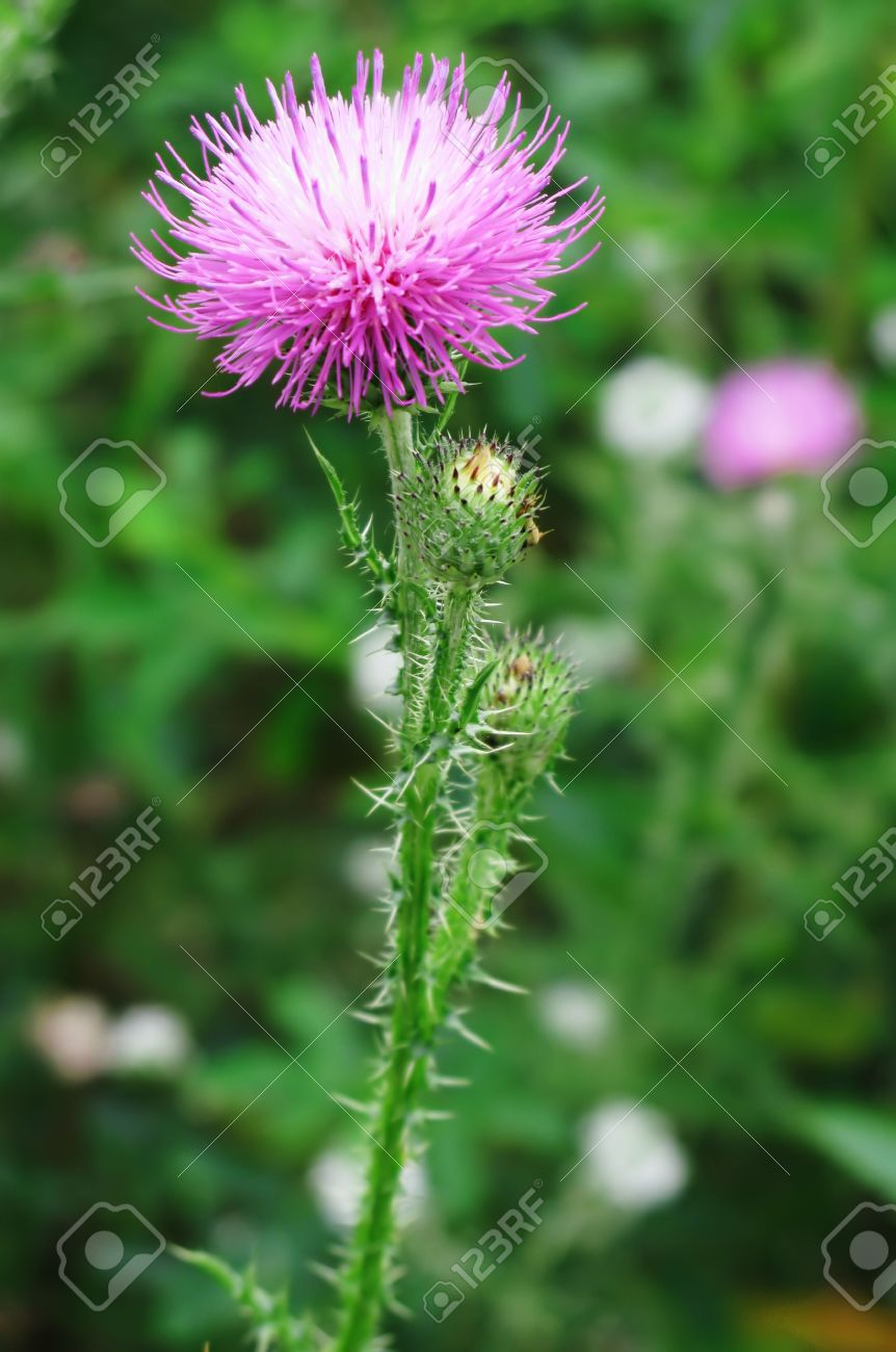 Beautiful wild pink flower with thorns stock photo picture and beautiful wild pink flower with thorns mightylinksfo Image collections