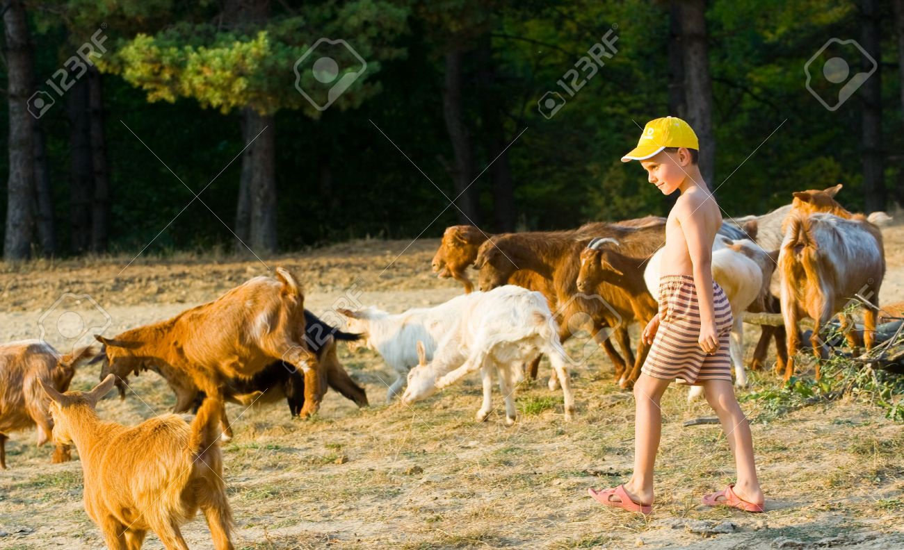 little shepherd with yellow cap and his herd of goats stock photo