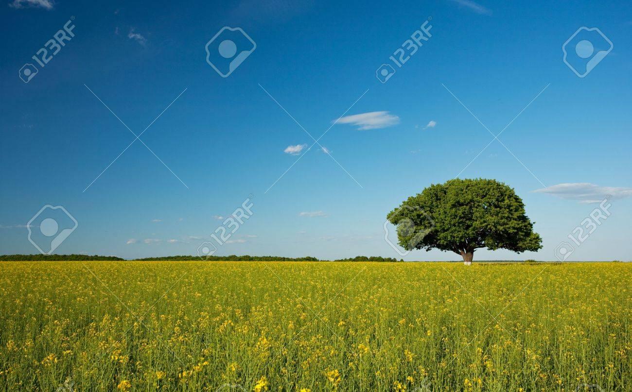 Single tree in a canola field under blue sky Stock Photo - 4834624