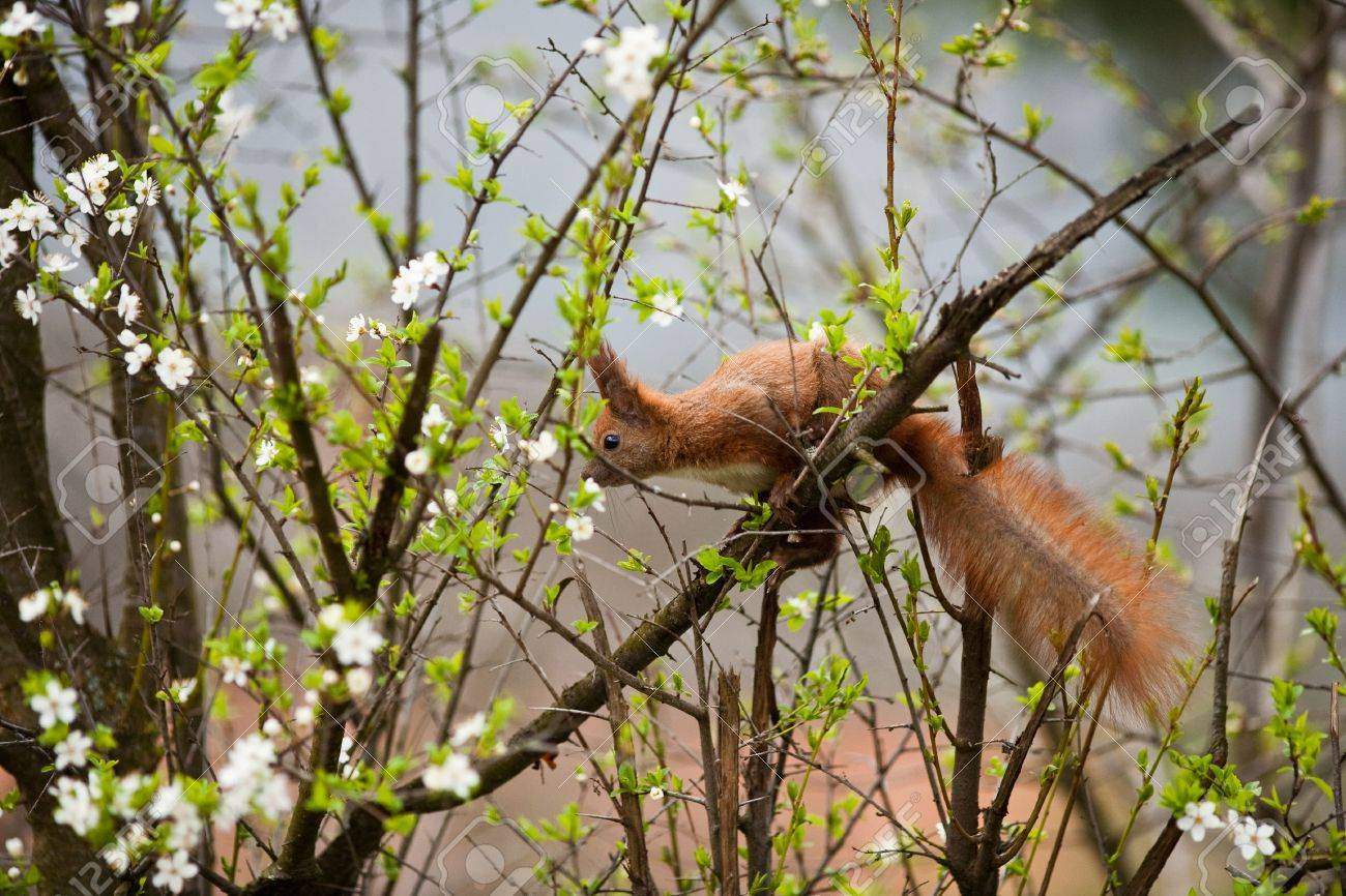 Outdoor image of a red wild squirrel in its natural habitat Stock Photo - 6792717