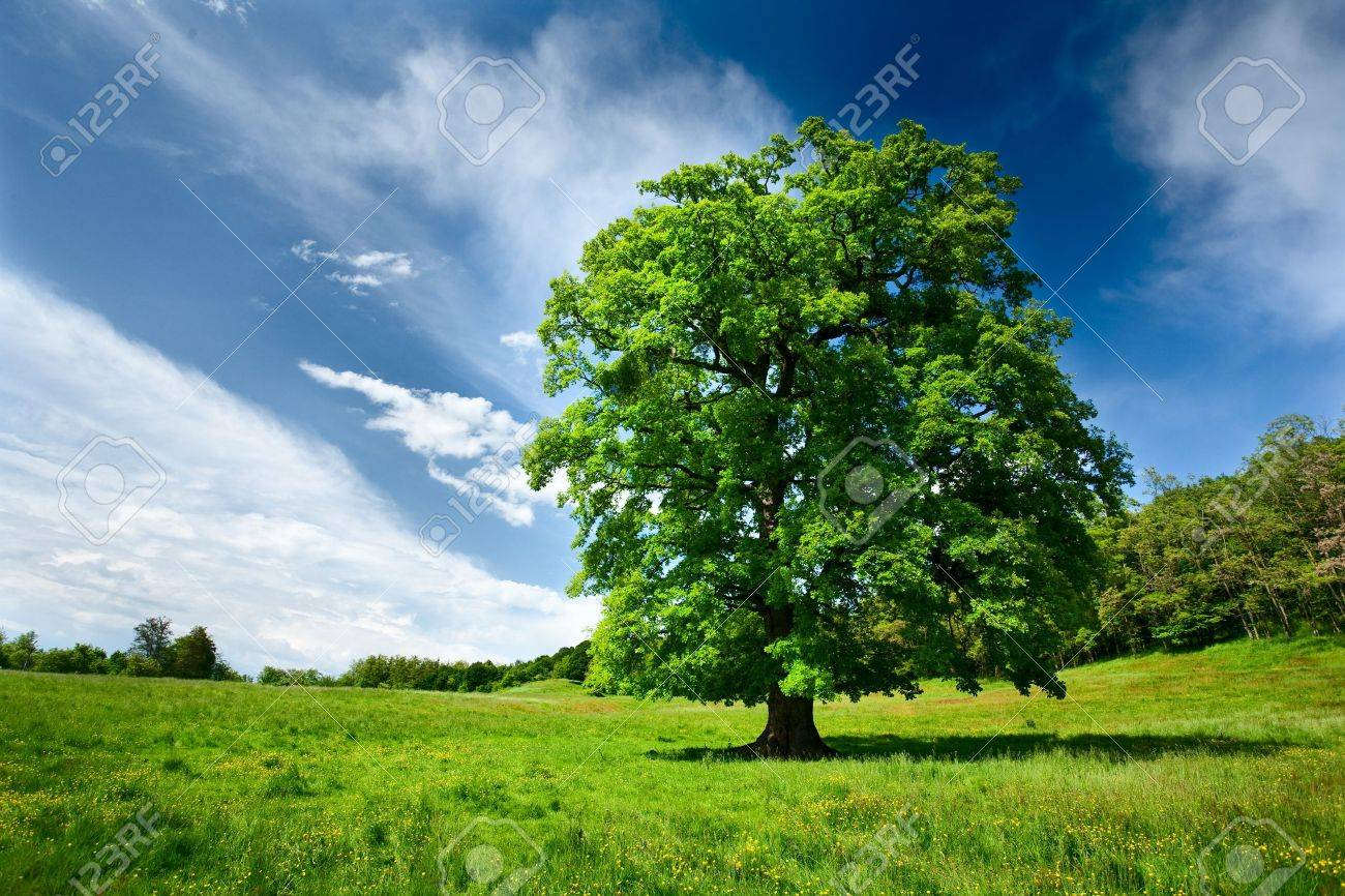 Single big oak tree in a meadow near the forest Stock Photo - 7056741