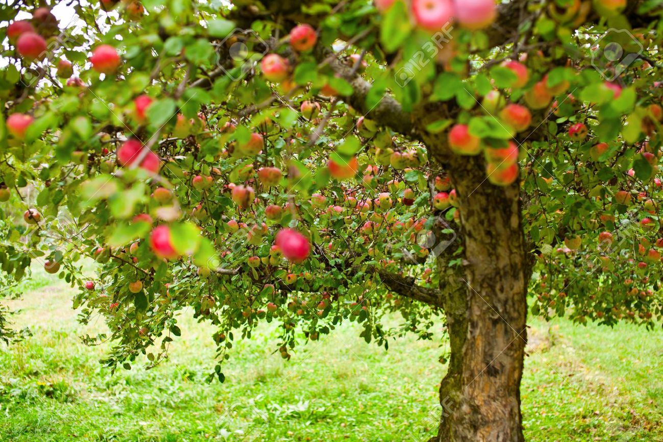 apple trees in an orchard, with red apples ready for harvest stock, Beautiful flower