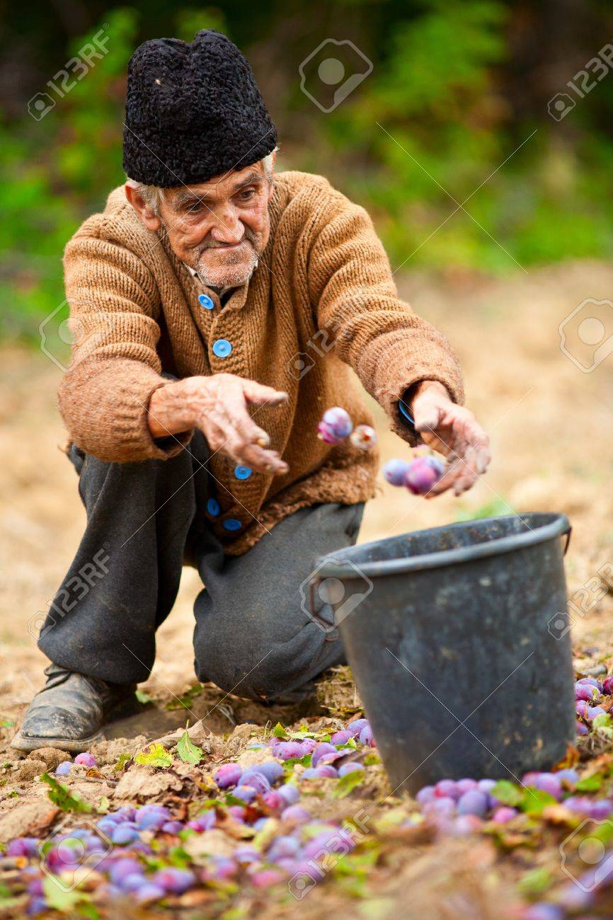 Old farmer picking plums in a bucket Stock Photo - 8336231