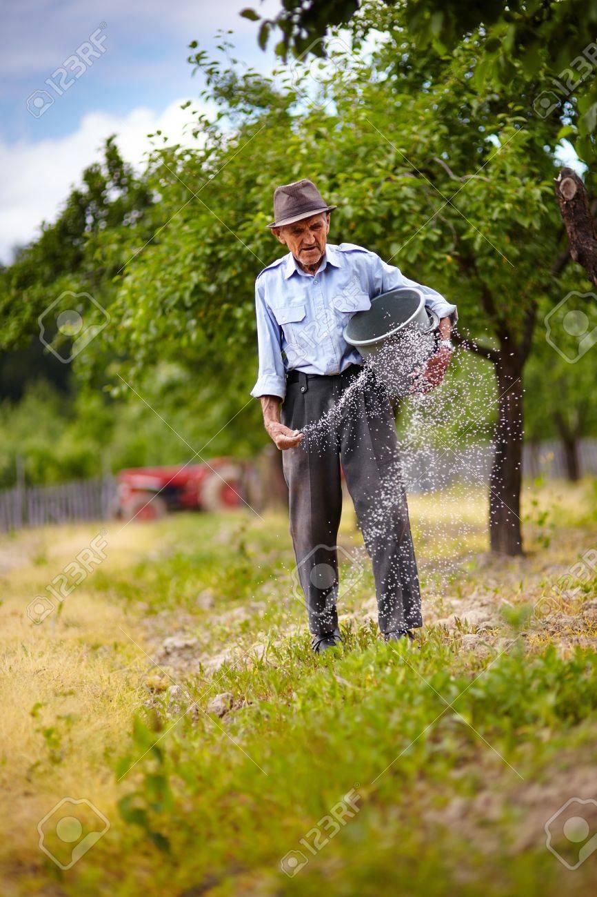 senior farmer doing seasonal work spreading fertilizer in a senior farmer doing seasonal work spreading fertilizer in a plum trees orchard stock photo