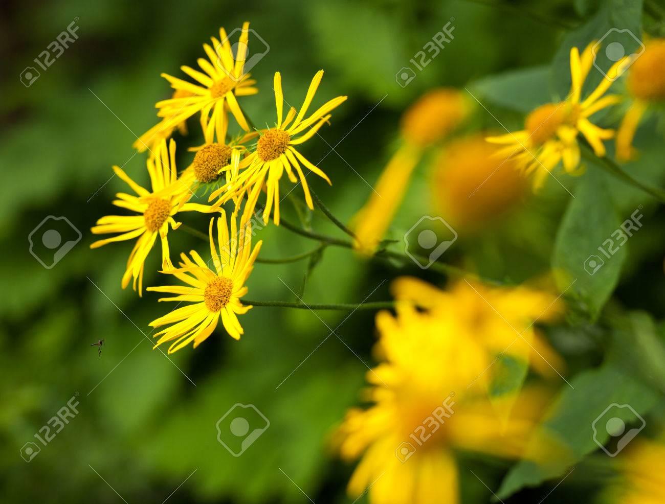 Closeup of mountain yellow wild daisy flowers stock photo picture closeup of mountain yellow wild daisy flowers stock photo 30751523 izmirmasajfo