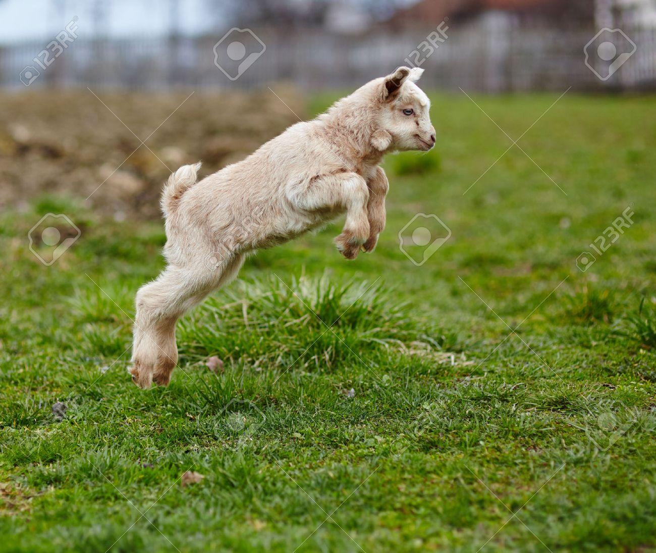 Chèvre de bébé adorable sautiller sur un pâturage Banque d'images - 38350940
