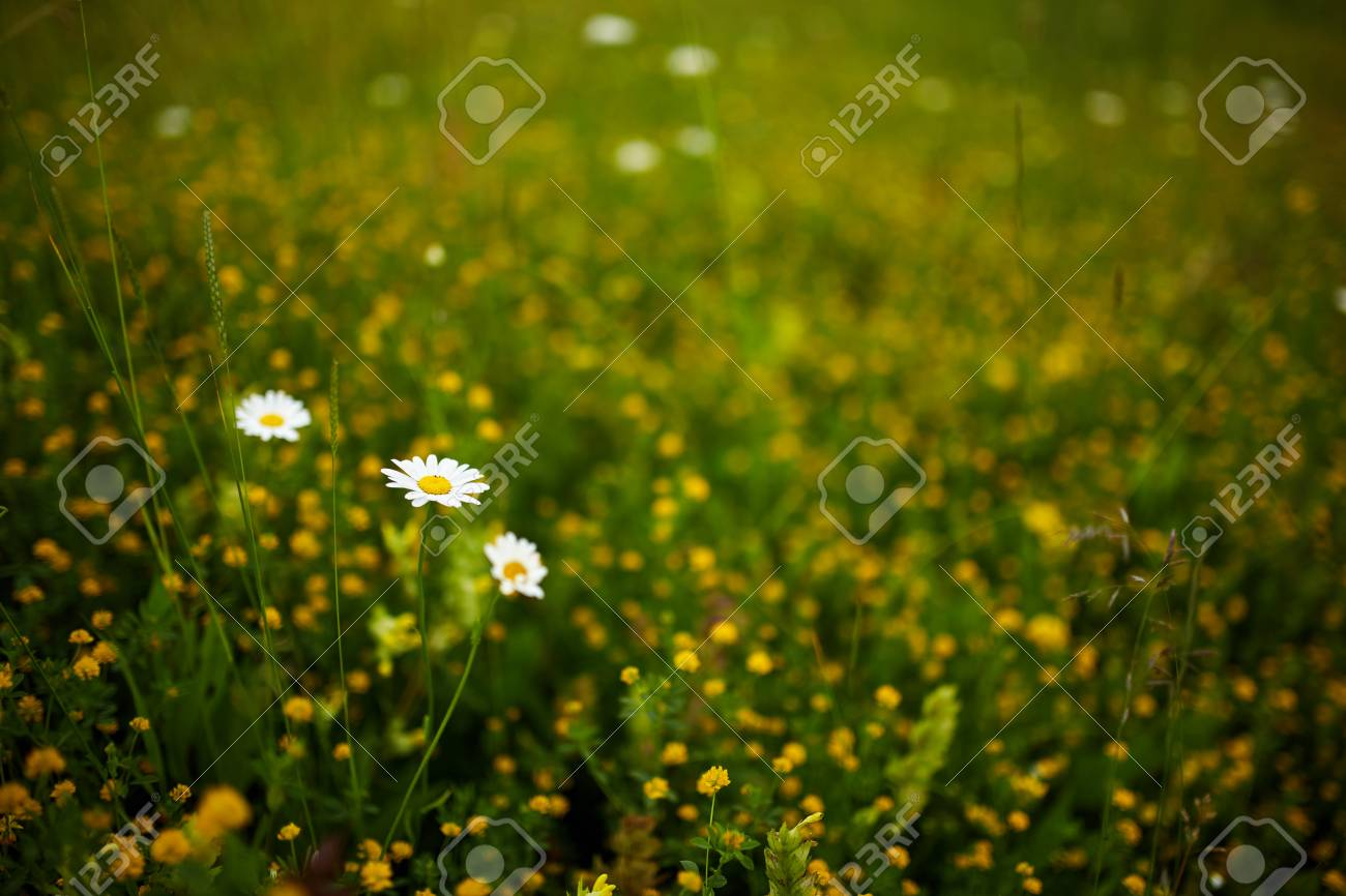 Closeup Of Beautiful Small Wild Flowers In A Field Stock Photo
