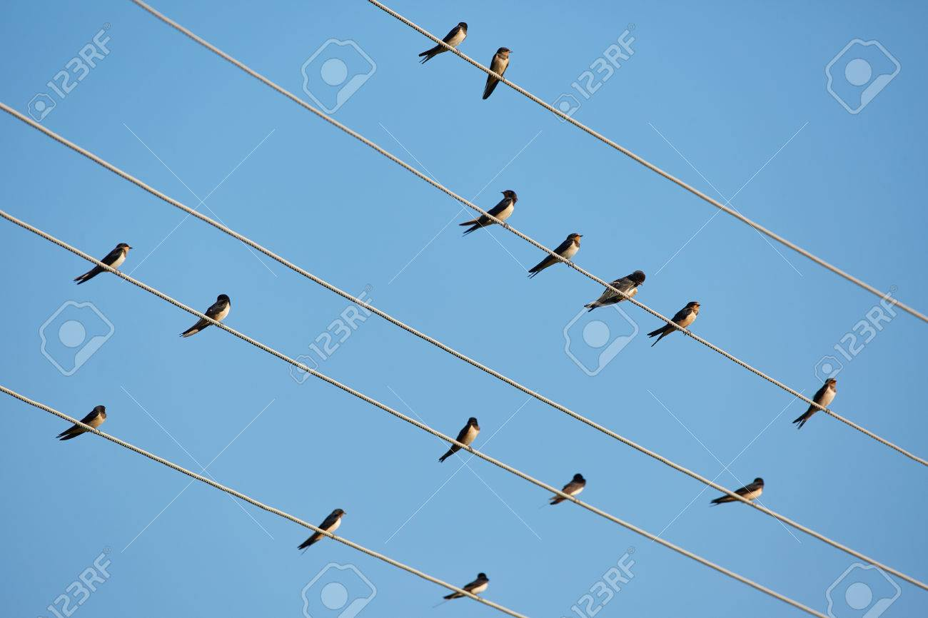 Many Barn Swallows Perched On Telephone Wires Stock Photo, Picture ...